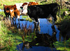 Cow Reflection