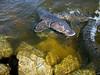 Spawning Sturgeon  Wisconsin Spring Wolf River Run